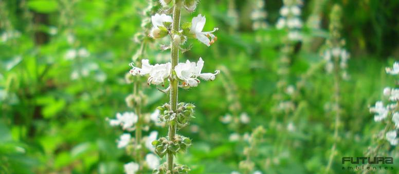 Sinta-se bem com 5 plantas para cultivar dentro de casa - Manjericão | Futura Ambientes